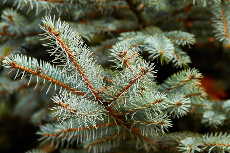 Branches of blue spruce closeup stock photo