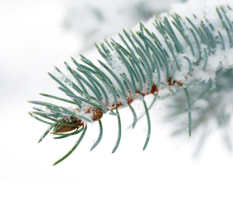 Branches blue spruce under the snow royalty free stock images