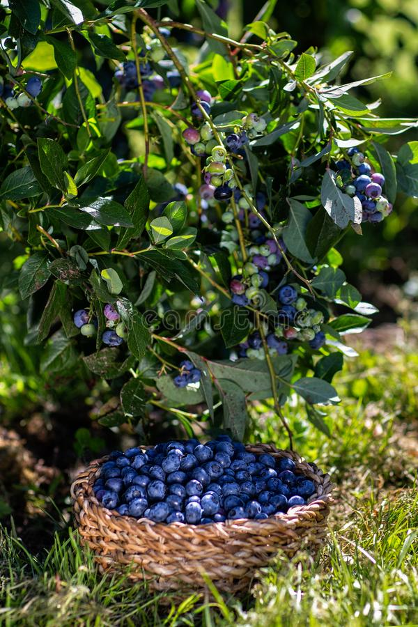 Download Branches Of Blueberries With Berries And Blueberries In The Basket, Harvesting Stock Photo - Image of berries, organic: 120119520