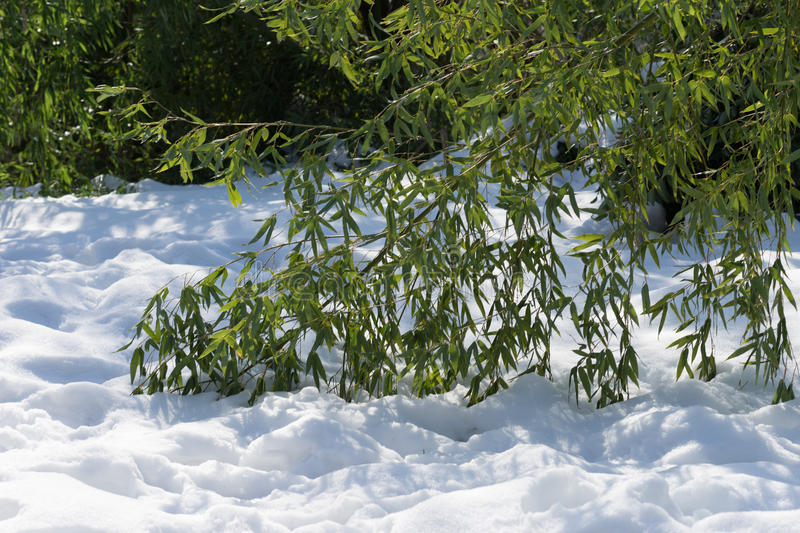 Branches bowed bamboo lying on the white snow. In a Sunny day royalty free stock photo