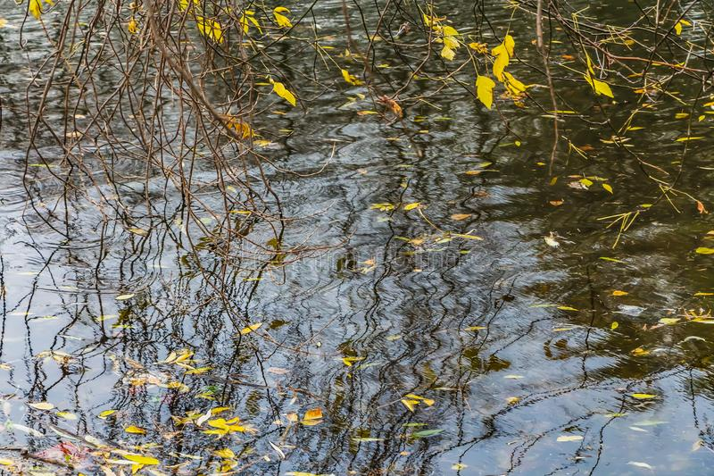 Branches with bright yellow leaves are on the water surface of the pond with the reflection of trees and a blue sky with white clo. Uds in the park in autumn royalty free stock image