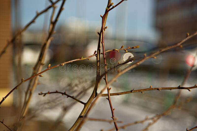 Branches of a bush with buds that have appeared. Branches of a bush with buds that appeared in early spring in the Moscow region. Spring is coming royalty free stock photo