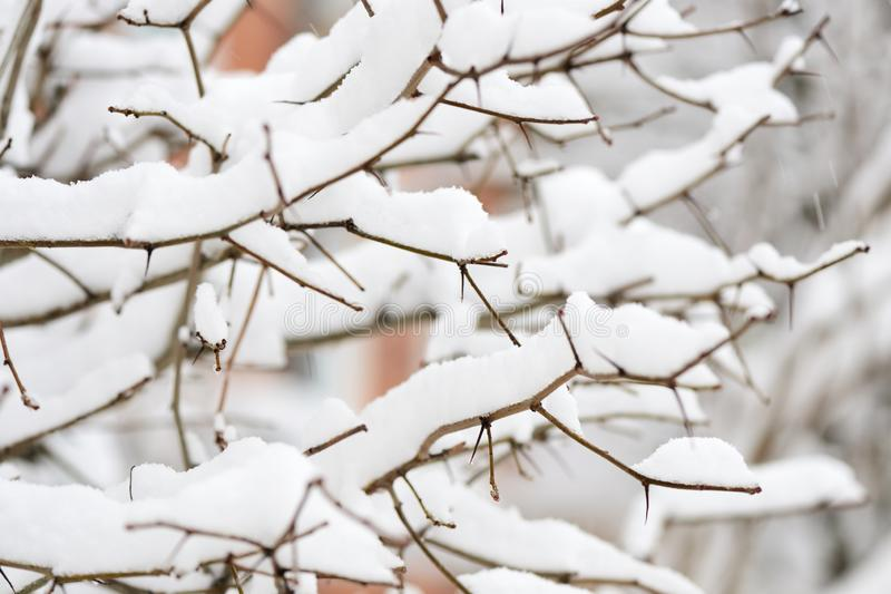 Branches of a bush covered with heavy snow in the city royalty free stock image