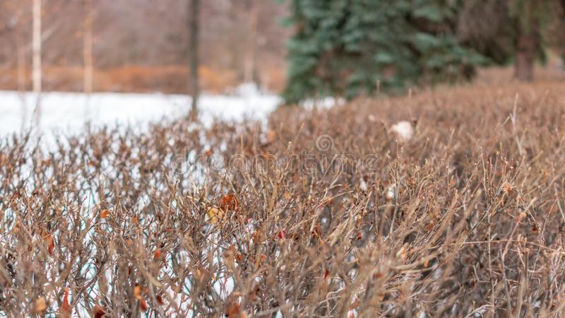 Branches of bushes without leaves in Winter Park. Prickly branches of bushes without leaves in Winter Park stock photo