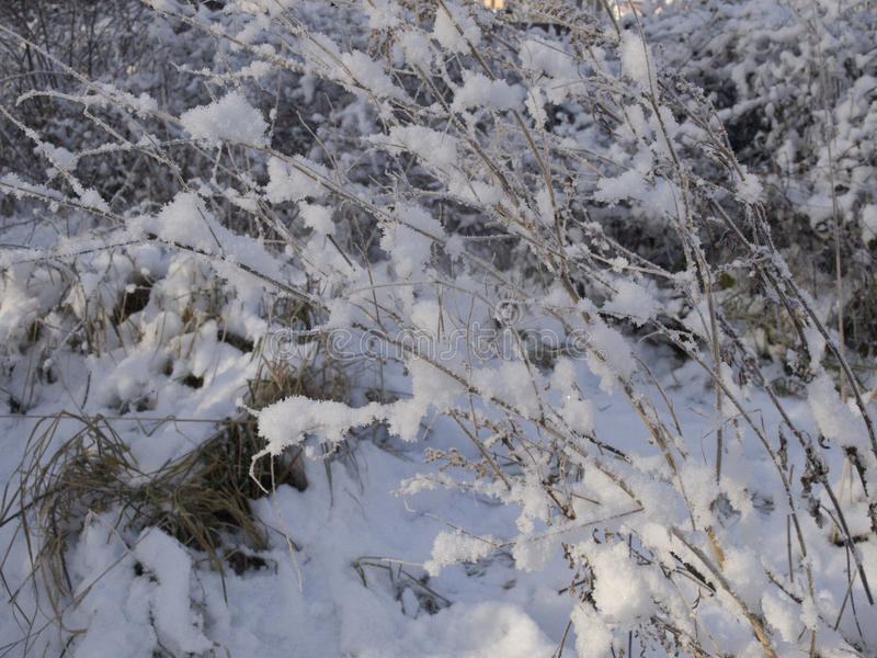 The branches of bushes in the snow. stock image