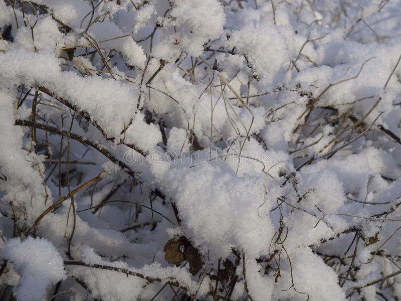 The branches of bushes in the snow. The branches of shrubs in the snow in the evening outside the city royalty free stock photo
