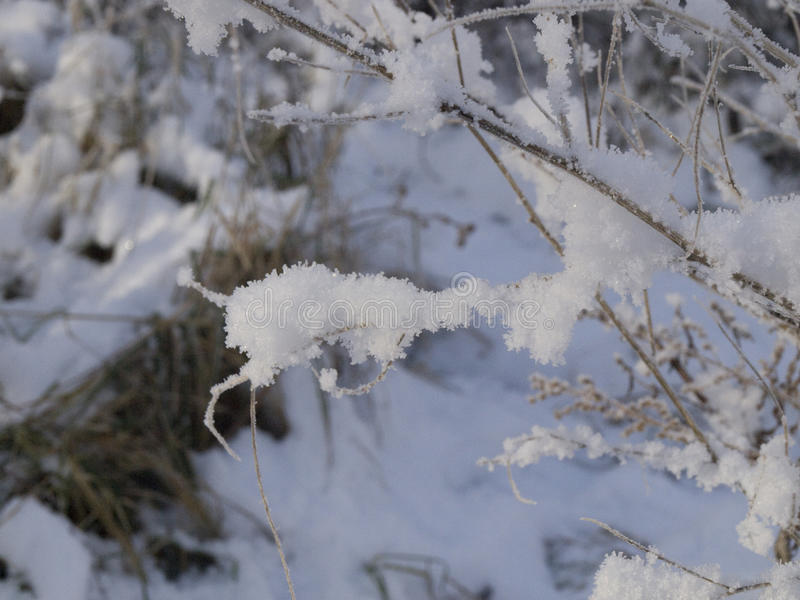 The branches of bushes in the snow. The branches of shrubs in the snow in the evening outside the city stock photos