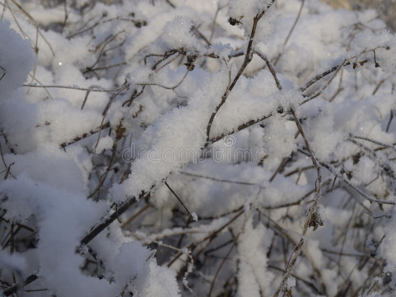 The branches of bushes in the snow. The branches of shrubs in the snow in the evening outside the city stock photography