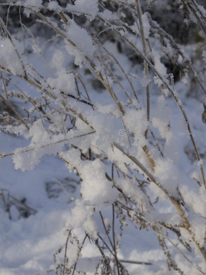 The branches of bushes in the snow. royalty free stock image