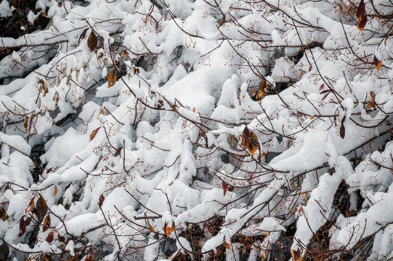 Branches of bushes in the snow stock photography