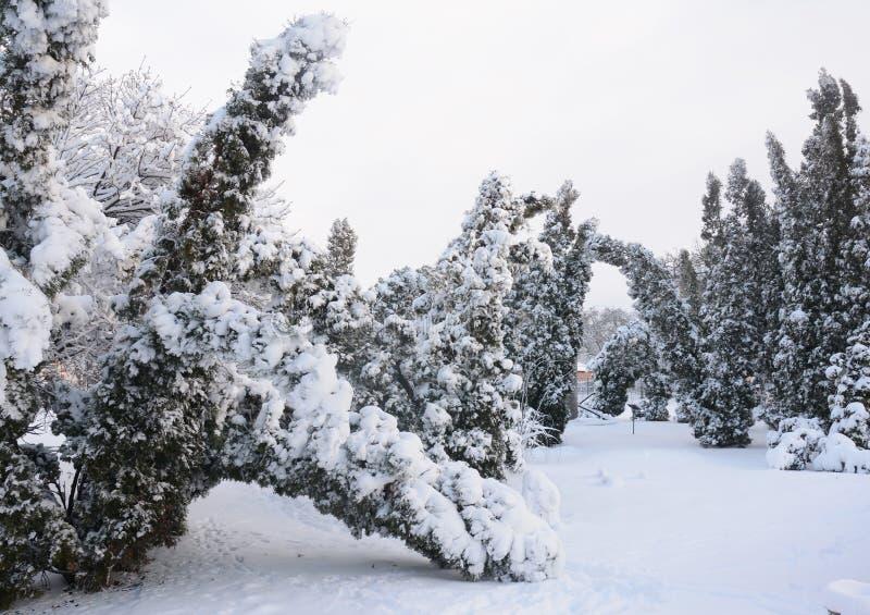 Branches cassées par Thuja après tempête de neige photographie stock libre de droits