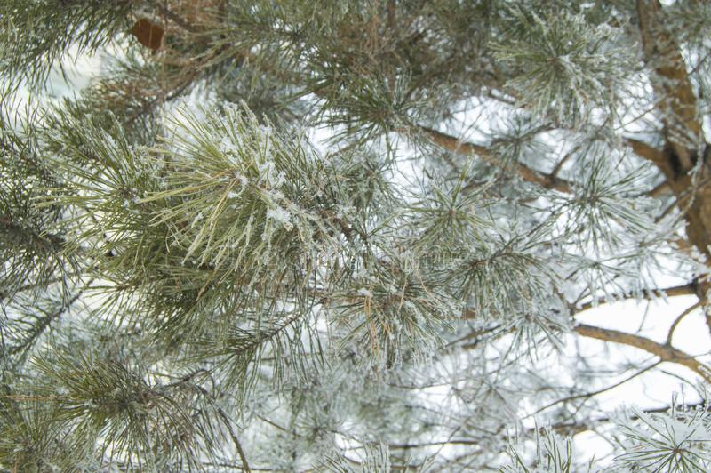 Branches of Christmas fir and pine are covered with snow and ice crystals, frost texture close-up stock photography
