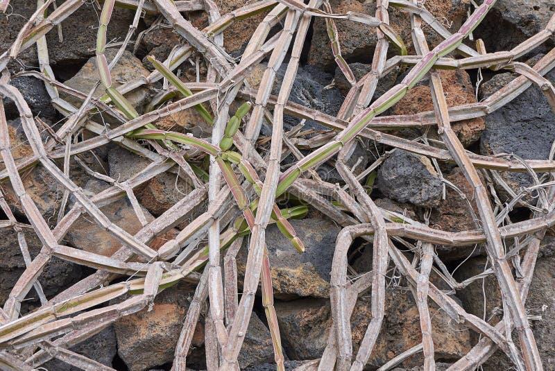 Branches of Cissus quadrangularis. Old branches of Cissus quadrangularis stock photography
