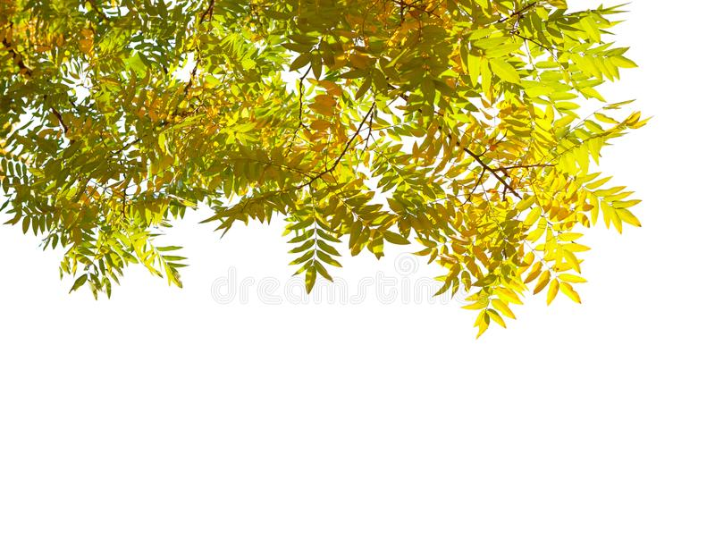 Branches with colorful autumn leaves isolated on white background. Japanese pagoda tree royalty free stock images