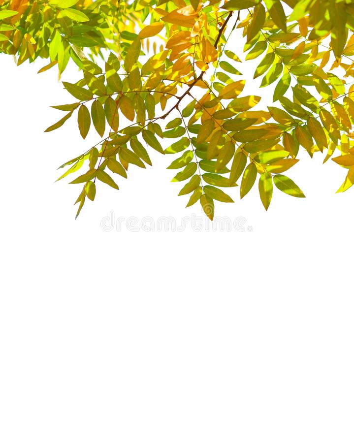 Branches with colorful autumn leaves isolated on white background. Japanese pagoda tree royalty free stock image