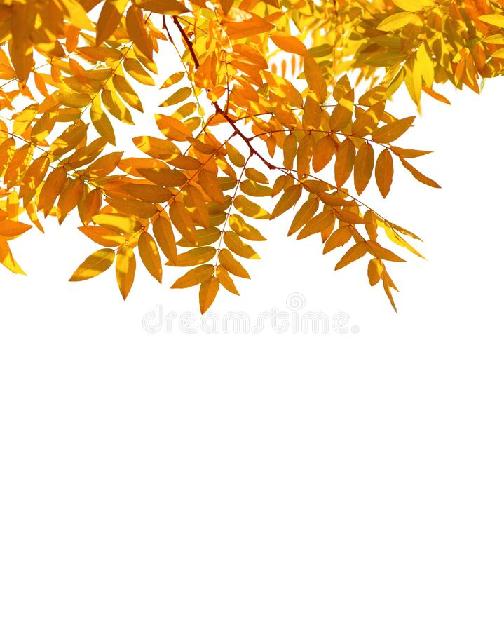 Branches with colorful autumn leaves isolated on white background. Japanese pagoda tree stock images