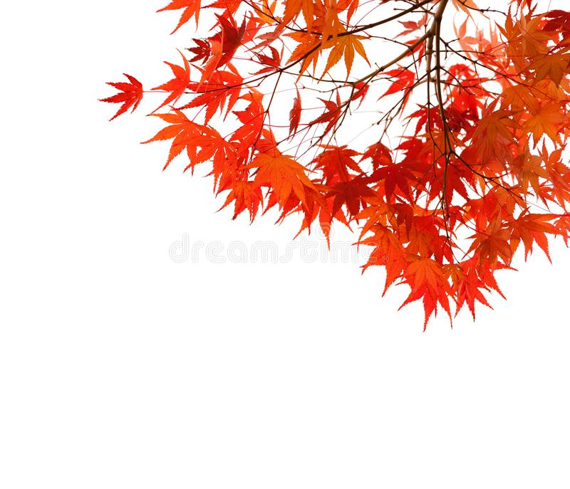 Branches with colorful autumn leaves isolated on white background. Selective focus. Acer palmatum Japanese maple.  stock photo