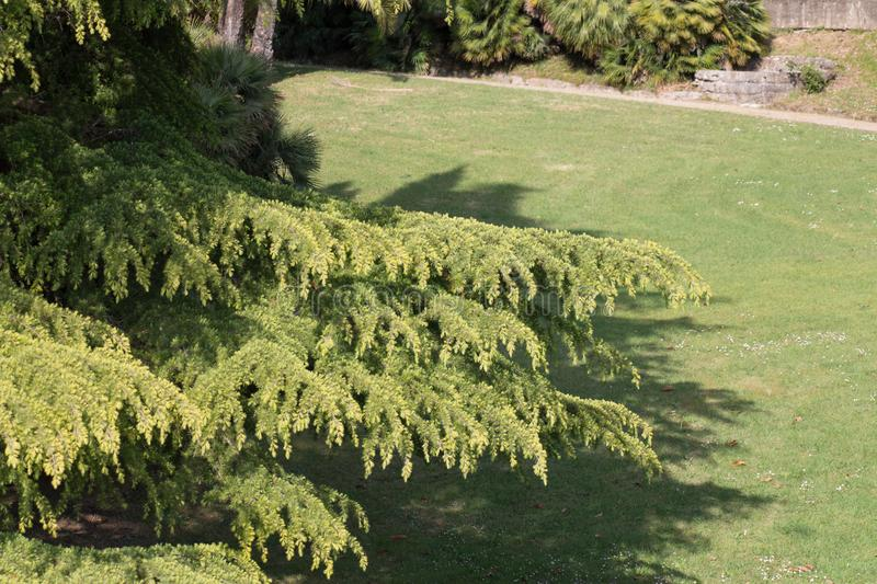 Branches of conifer in a sunny day royalty free stock image