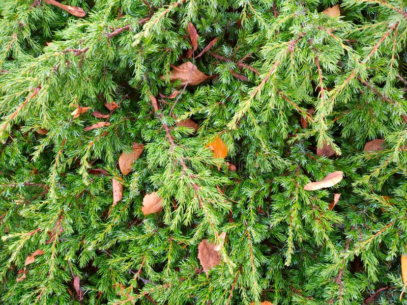 Branches of coniferous tree stock images