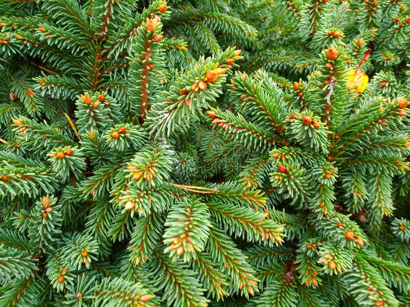 Branches of coniferous tree royalty free stock photo