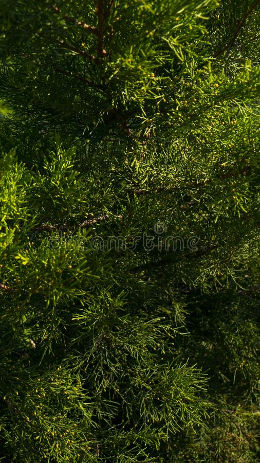 Branches of coniferous wood. Pine needles. Evergreen pine tree branch.  royalty free stock photography