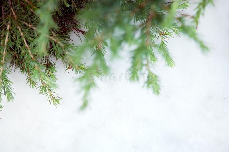 Branches of conifers on a light background. stock photos