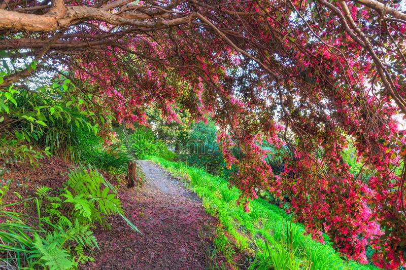 Branches covered in pink flowers arching over a pathway. Weighted down with hot pink blooms, branches of Chinese fringe flower / Loropetalum chinense droop over royalty free stock image
