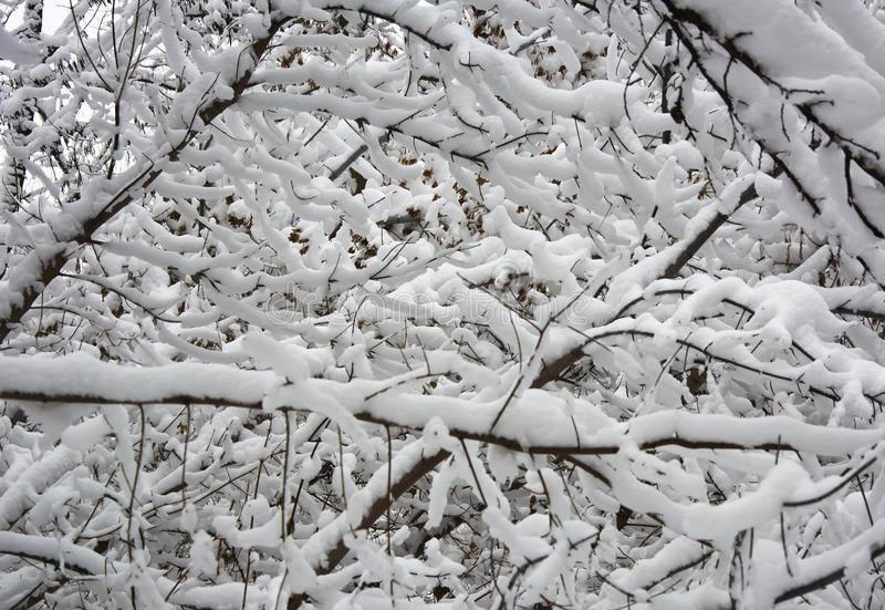 Branches cowered by white snow stock photo