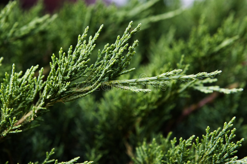 Branches of cupressus stock photography