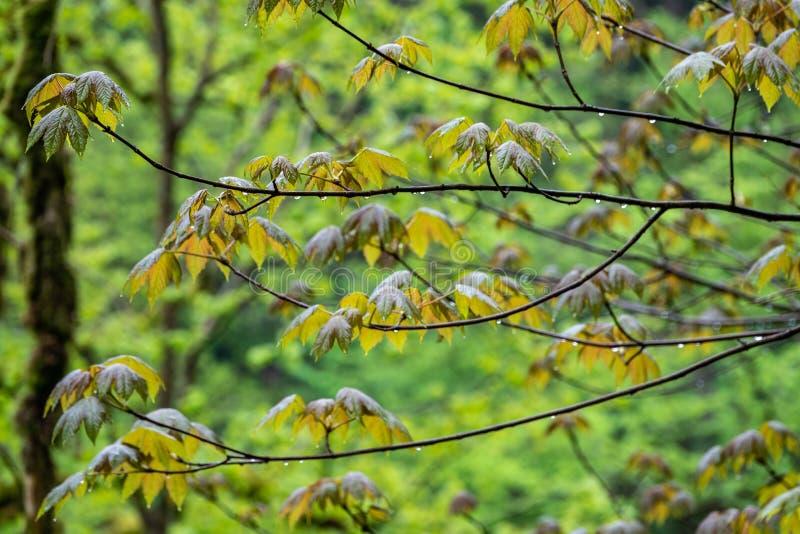 Branches d'érable avec les feuilles vertes avec des baisses de l'eau après la pluie photo stock
