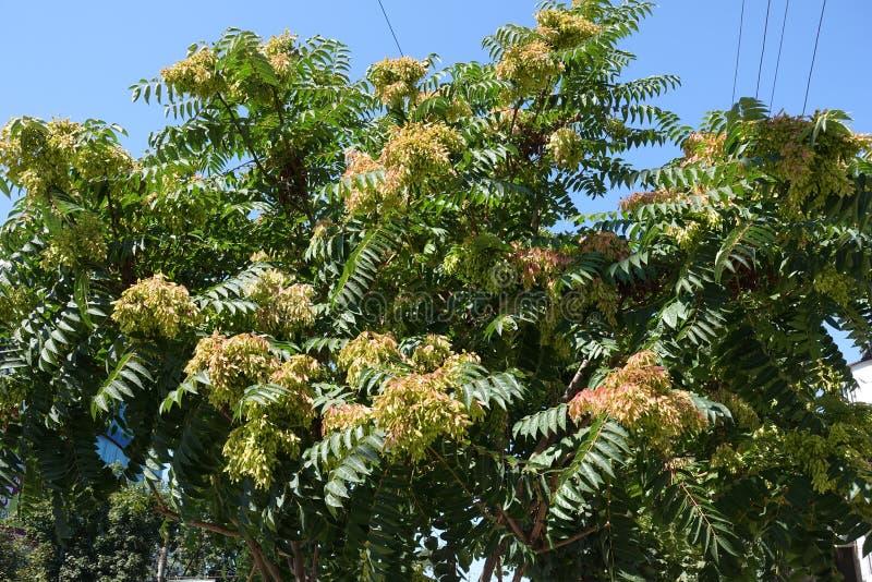 Branches d'altissima d'Ailanthus contre le ciel photographie stock