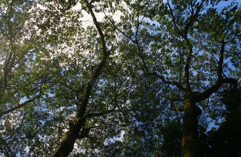 Branches d'angle faible d'un grand vieil arbre images libres de droits
