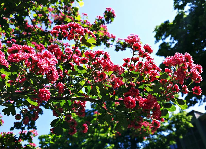 Branches d'arbre de floraison, fleurs carmin-rouges de Laevigata de crataegus d'aubépine de l'écarlate de Paul image libre de droits