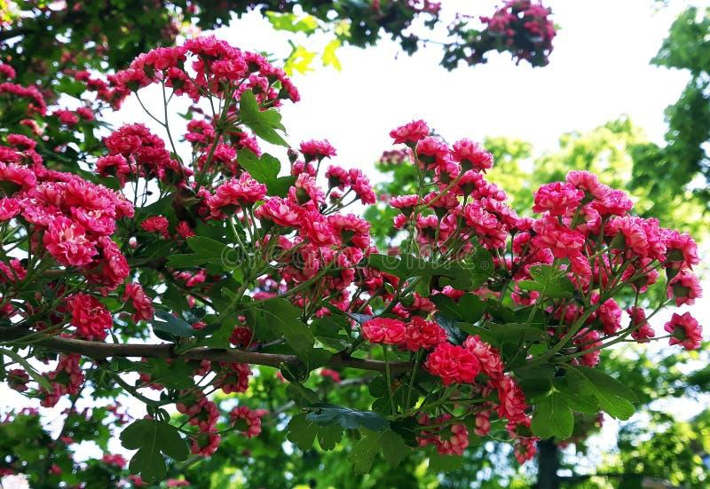 Branches d'arbre de floraison, fleurs carmin-rouges de Laevigata de crataegus d'aub?pine de l'?carlate de Paul image libre de droits