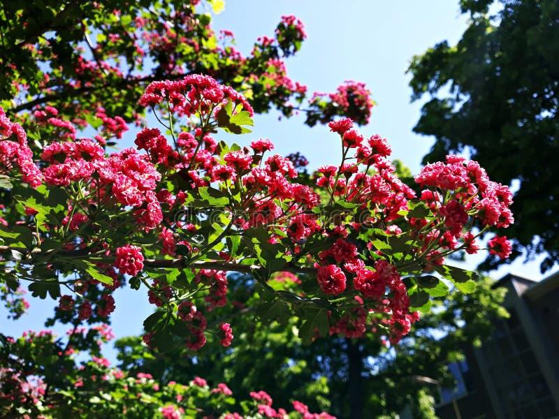 Branches d'arbre de floraison, fleurs carmin-rouges de Laevigata de crataegus d'aub?pine de l'?carlate de Paul photos libres de droits
