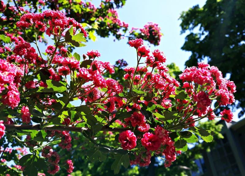 Branches d'arbre de floraison, fleurs carmin-rouges de Laevigata de crataegus d'aub?pine de l'?carlate de Paul photos stock
