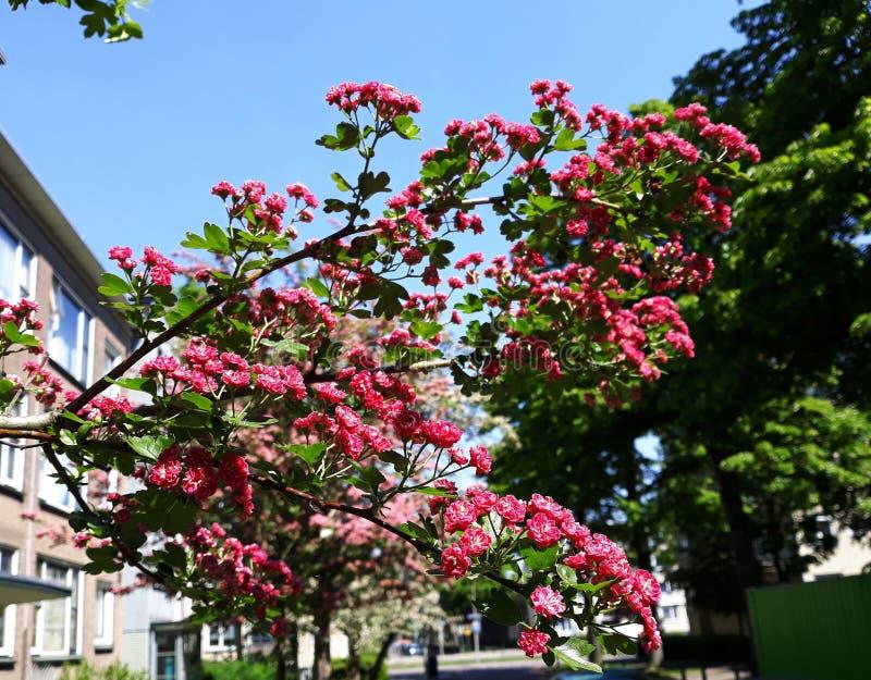 Branches d'arbre de floraison, fleurs carmin-rouges de Laevigata de crataegus d'aub?pine de l'?carlate de Paul photographie stock libre de droits