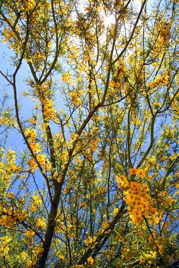 Branches d'arbre de floraison jaunes photo libre de droits