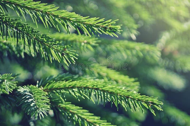 Branches d'arbre de sapin photographie stock