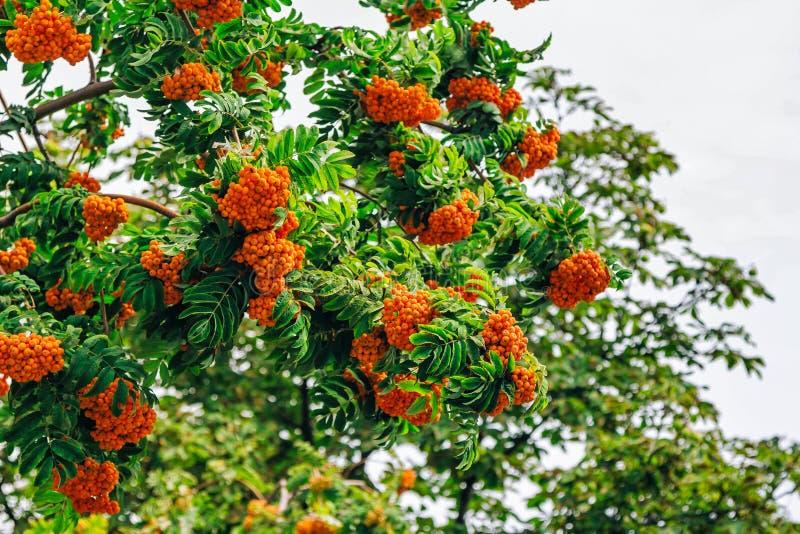 Branches d'arbre de sorbe avec les baies mûres photographie stock libre de droits