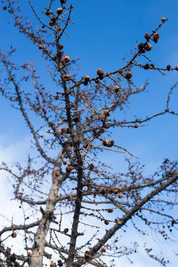 Branches d'arbre nues avec les boules rondes contre le ciel bleu à l'hiver t photographie stock libre de droits