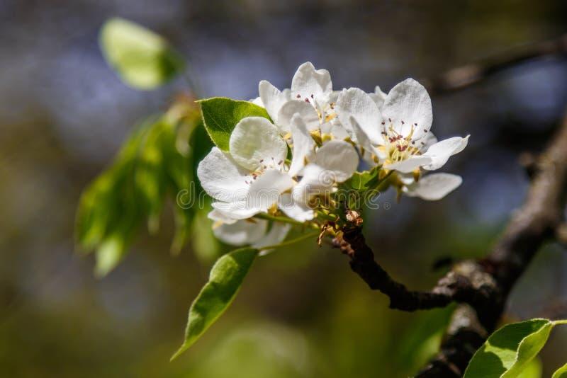 Branches d'arbre se d?veloppantes de beau ressort avec les fleurs blanches macro photo libre de droits
