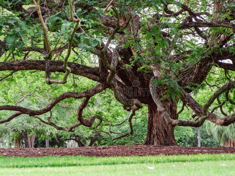 Branches d'aspect étrange de grand arbre photos stock
