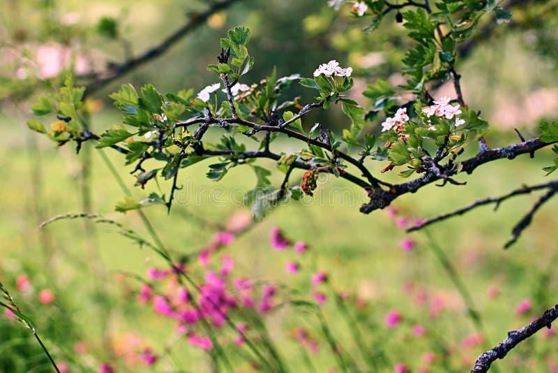 Branches d'aubépine de floraison au-dessus d'un champ des fleurs sauvages photo libre de droits