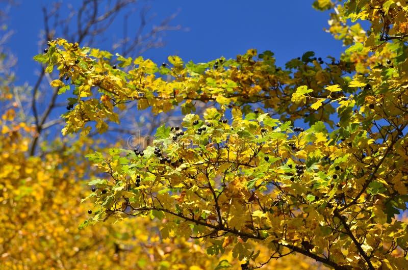 Branches d'aubépine noire en automne photo stock