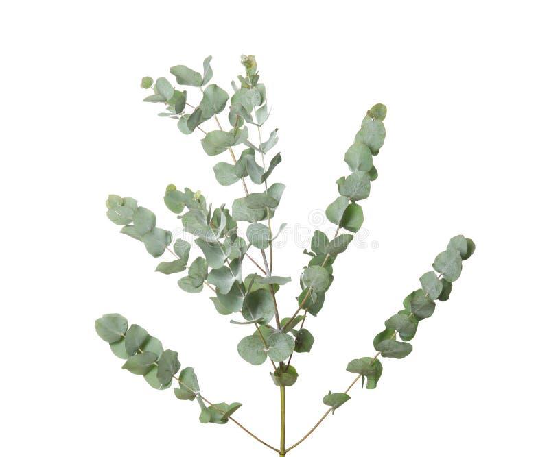 Branches d'eucalyptus avec le congé frais images libres de droits