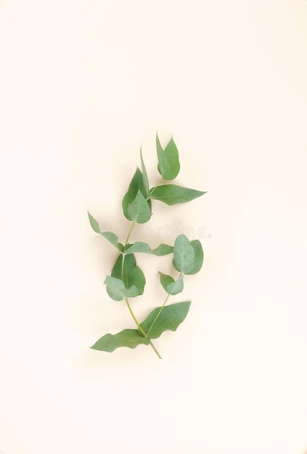 Branches d'eucalyptus sur le fond beige pâle Résumé minimal photos stock