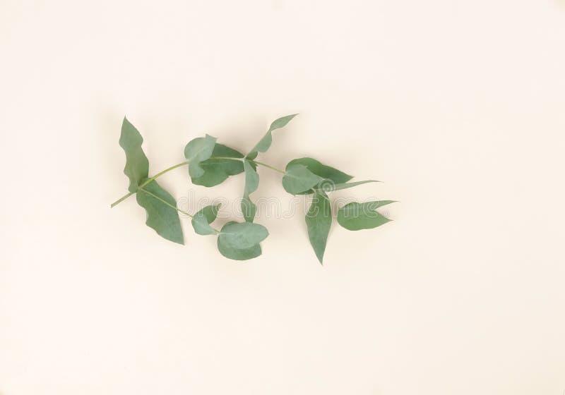 Branches d'eucalyptus sur le fond beige pâle Résumé minimal photos libres de droits