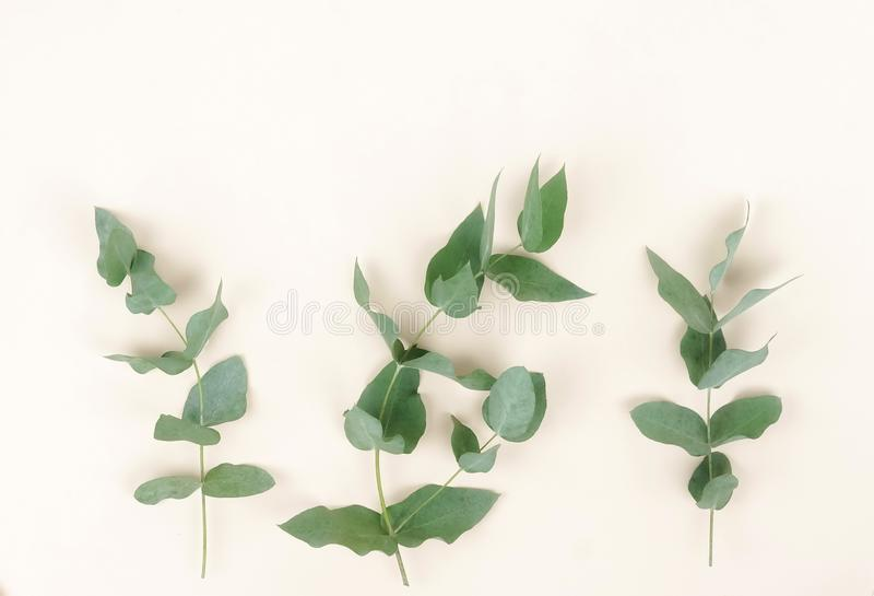 Branches d'eucalyptus sur le fond beige pâle Résumé minimal photographie stock libre de droits
