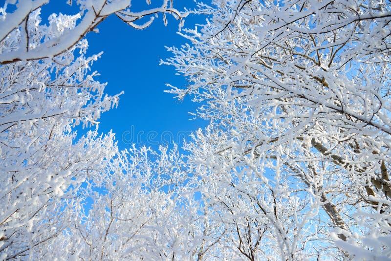 Branches d'un arbre couvert de gelée pelucheuse contre le ciel bleu images libres de droits